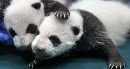 Giant pandas no longer endangered, but hold the applause