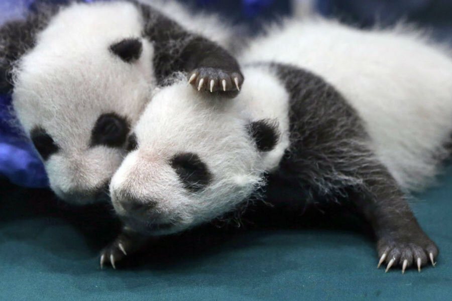 Giant Pandas No Longer Endangered But Hold The Applause