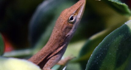 Why climate change could be fatal for lizards