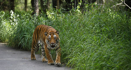 She's helping save tigers with bioacoustics research