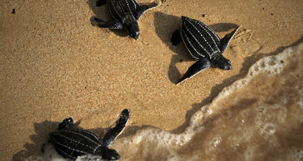 Efforts to help baby sea turtles reach the sea are finally paying off