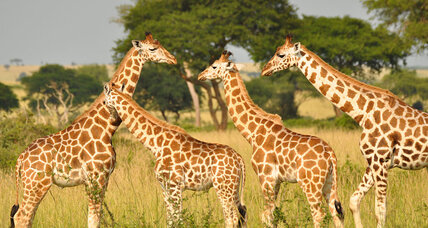 We've been looking at giraffes all wrong for 100 years