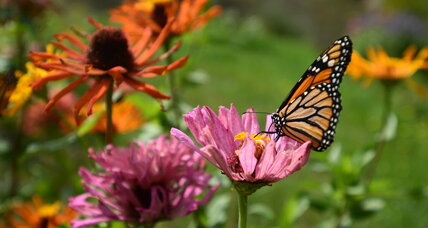 How Illinois plans to help save the Monarch butterfly