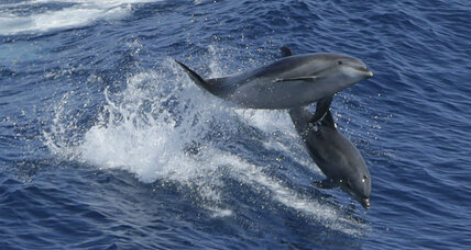 Do dolphins use language?
