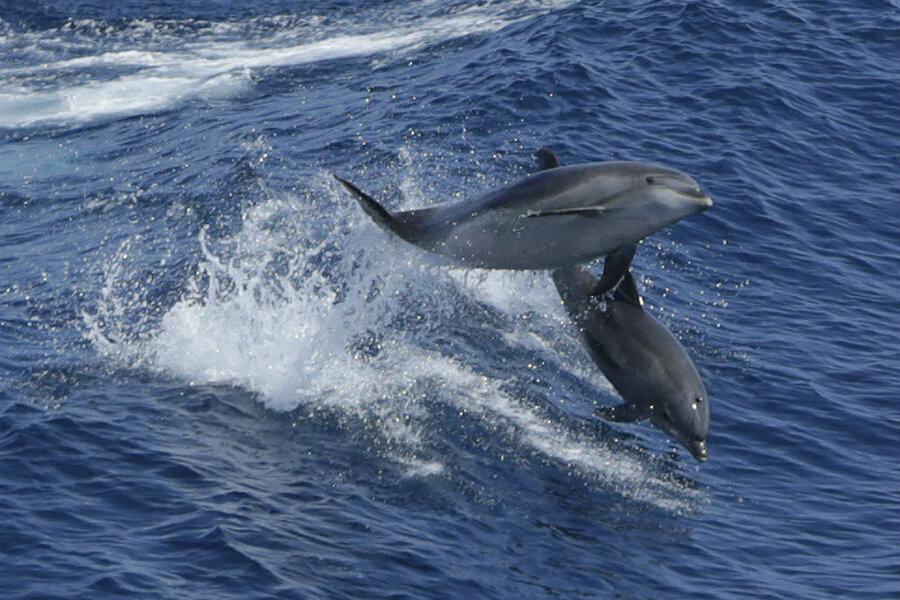 Do dolphins use language?