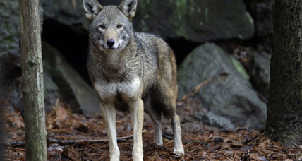 What is the best way to save endangered red wolves?