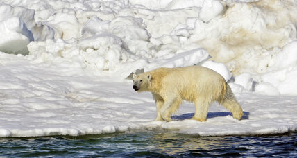 Facing a shrinking habitat, polar bears besiege Russian meteorologists
