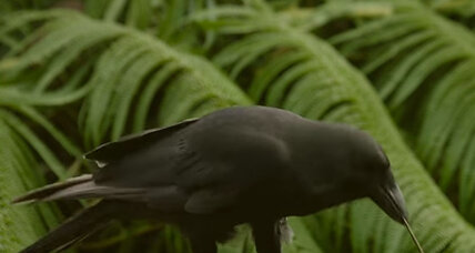 These claws were made for foraging: Why a Hawaiian crow is a tool master