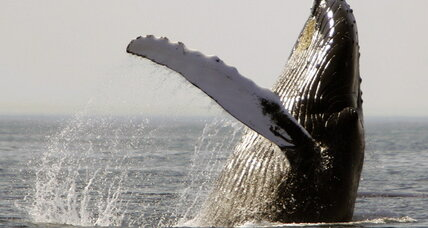 Beached New Jersey humpback: What are we doing to protect whales?