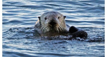 California's sea otter population makes a comeback