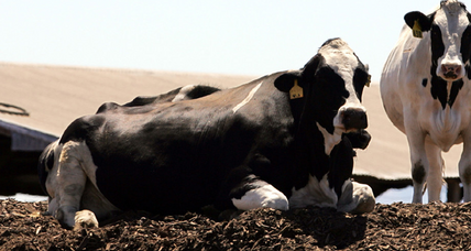 Apocalypse Cow: Will California bill cut gassy livestock emissions?