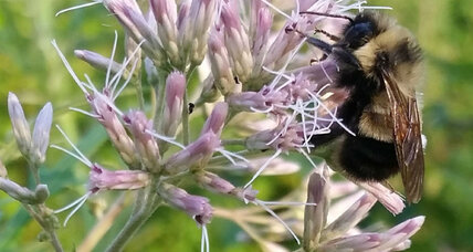 Buzz-worthy proposal: A bumble bee is considered for the endangered list