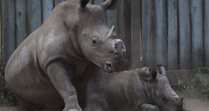 Is controlled de-horning the answer to rhino poaching?