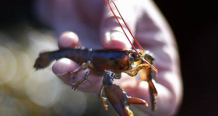 Global warming may mean fewer Maine lobsters, says study