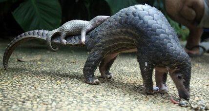 Trade ban: Shy and elusive pangolin finally gets protection