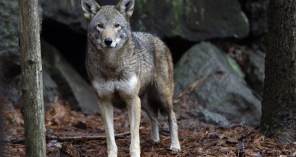 US wildlife officials have failed the world's last red wolves, judge rules