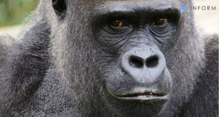 Could the eastern gorilla go extinct?
