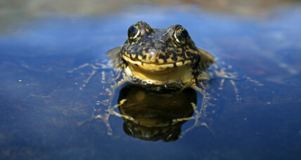 Yosemite's endangered frogs show signs of rebound