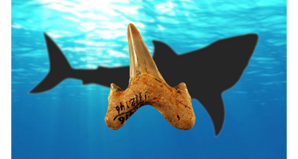 Teeth reveal new extinct species of giant shark