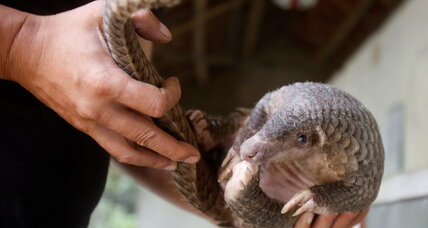 Want to save the pangolin? Look to elephants.