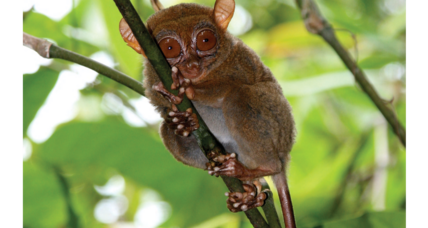 Tarsier genome offers clues about our oddball primate relative