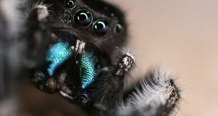 Spidey sense: Jumping spiders can hear a shriek from across the room
