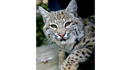 Why are bobcats returning to New Hampshire?