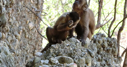 Monkeys are making stone tools thought to be unique to humans