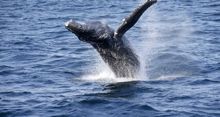 An unwanted catch: Conservationists refocus to save the whales.