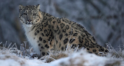 Why the world's last few snow leopards are dying at the hands of humans