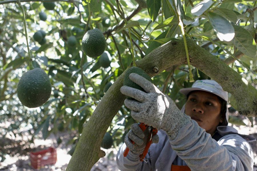 Avocados Shortage Us Prices Surge Amid Mexican Strike