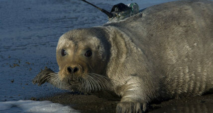 With an eye on climate change, court gives bearded seals endangered status