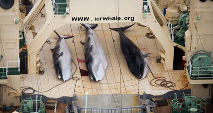 Whaling nations harpoon Brazil's bid for South Atlantic sanctuary