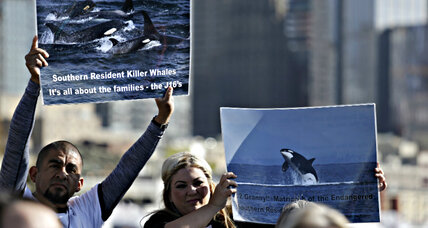 Puget Sound orcas: Would removing dams save the whales?