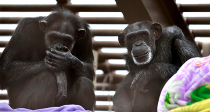 Chimps rely on their friends to feel more relaxed, say scientists