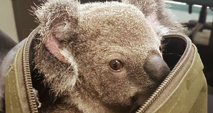Baby koala found in woman's duffel bag
