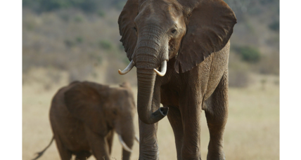 What carbon dating tells us about elephant poaching. (It's not good.)