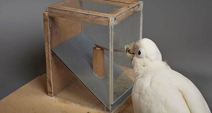For these clever tool-making cockatoos, the material might not matter