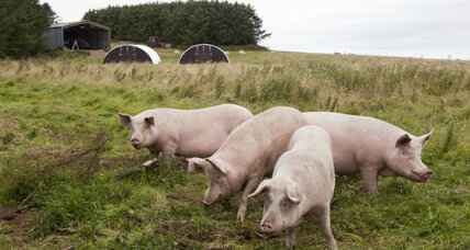 Why are some pigs more optimistic than others?
