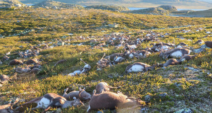 80,000 reindeer die: Is their starvation caused by global warming?