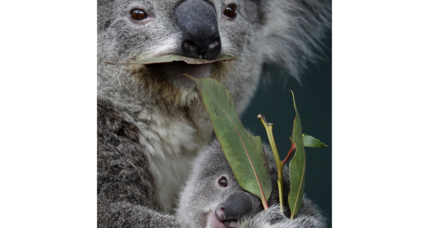 Is there an easy way to help koalas?