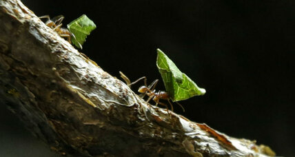 The world's first known farmers weren't humans, but Fijian ants