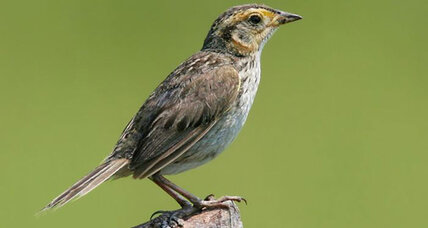 This American sparrow could be gone in 50 years, say conservationists