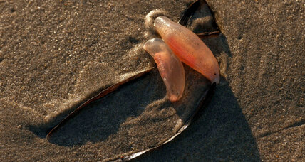 Huntington Beach mystery: Where did these jelly-like creatures come from?