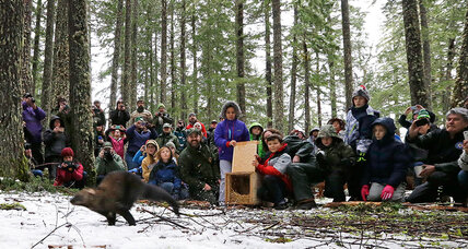 Elusive fishers return to Pacific Northwest