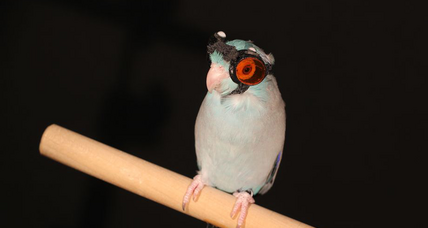 This experimental laser parrot wears safety goggles