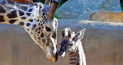 Giraffes added to 'vulnerable' list after population shrinks 40 percent