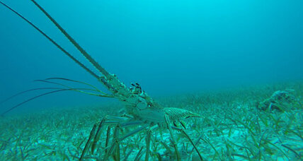 Spiny lobsters tap into a strange food source, scientists say