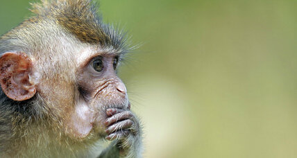 Why can't monkeys talk like us? Their vocal tract might not be the problem.