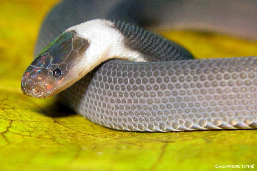 Identification d'un serpent. 1019419_1_1219-ziggy-stardust-snake.jpg_standard